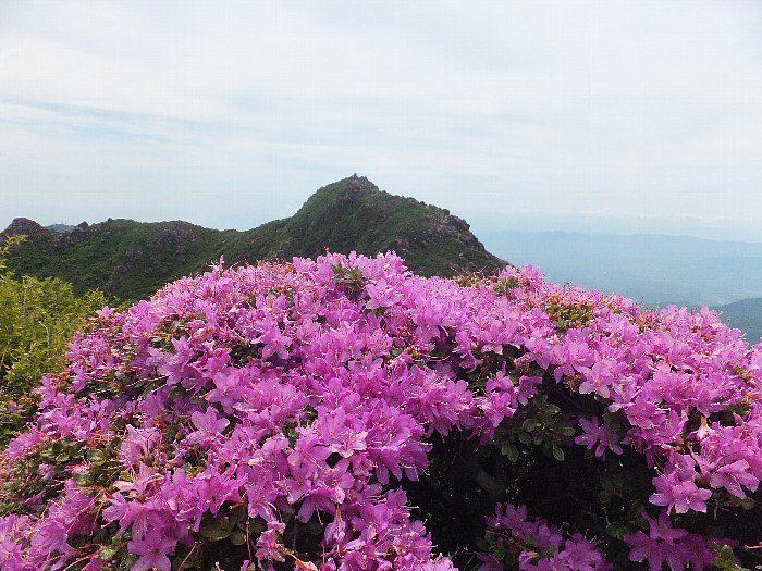 由布岳のミヤマキリシマ