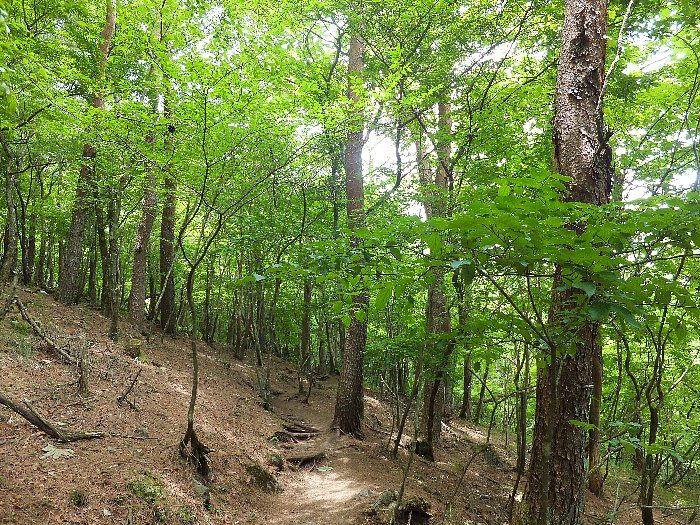 由布岳登山道の万緑