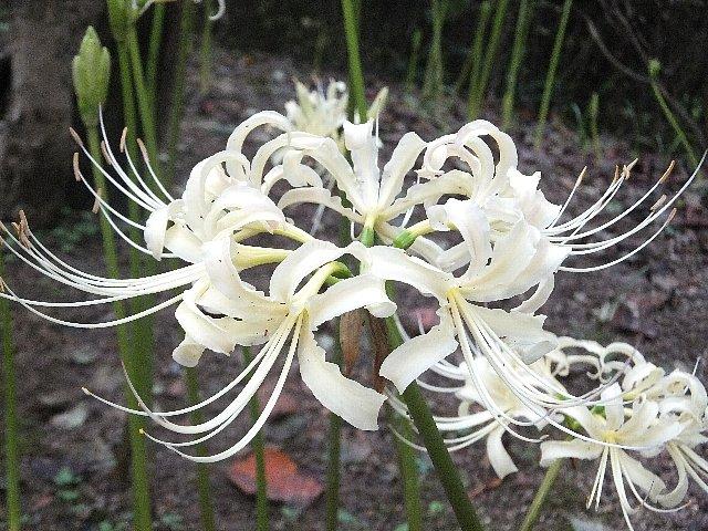 シロヒガンバナ(白彼岸花)