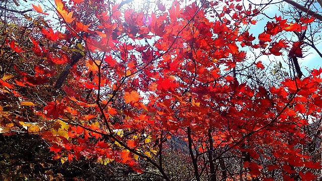 大船山麓の紅葉