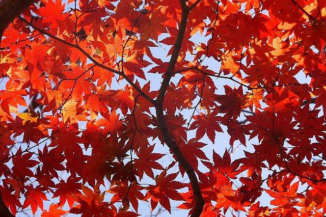 由布岳の紅葉