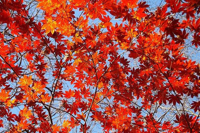 男池の紅葉