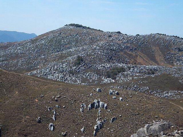 平尾台の羊原群