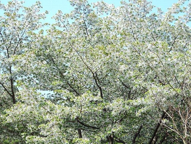 経塚山の山桜