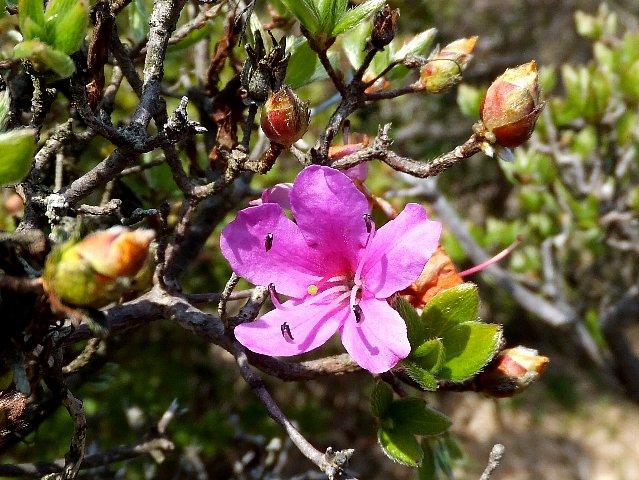 経塚山のミヤマキリシマ