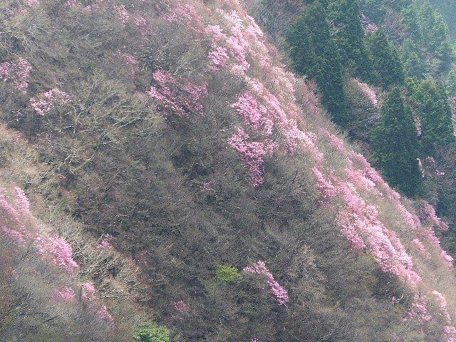 アケボノツツジ 西赤石山 兜岩