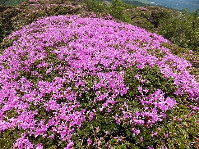 平治岳のミヤマキリシマ 2019年