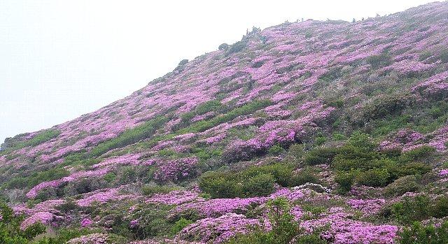 平治岳北峰のミヤマキリシマ