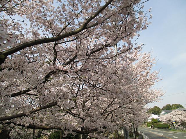 咲き誇る桧原桜