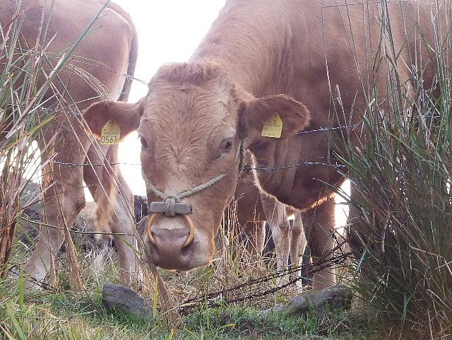 大戸尾根登山口の赤牛