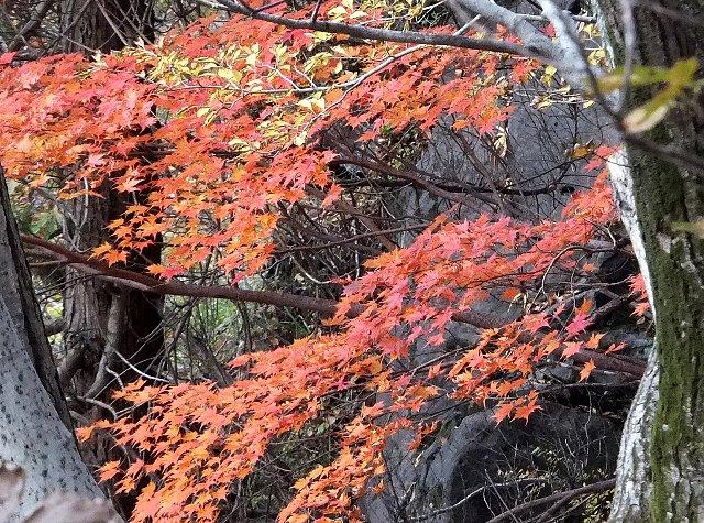 阿蘇・根子岳東峰大戸尾根登山道 紅葉