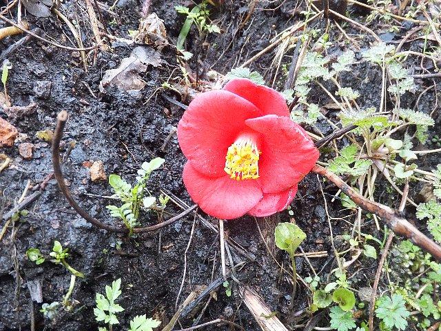 登山道に散り落ちた椿の花