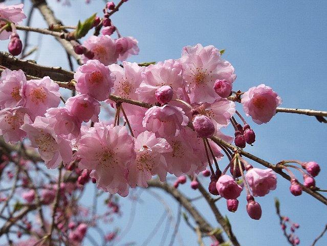 桜 岩石山