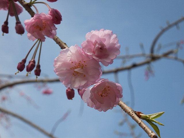 うららかに陽光に誘われ、ほころんでいく桜花