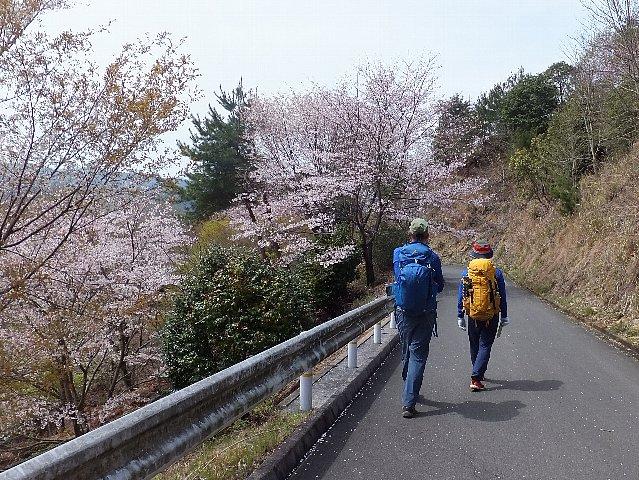 岩石山 桜