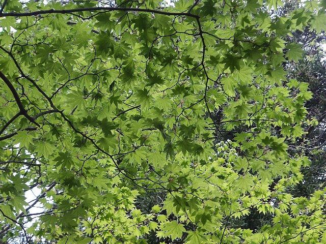 犬ヶ岳 新緑