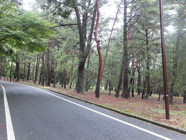 足立山 赤松林