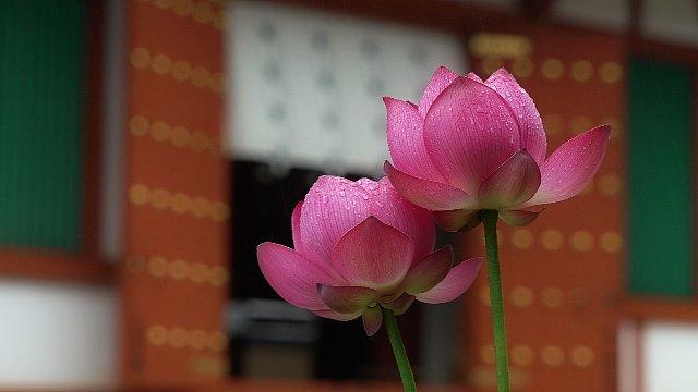 薬師寺の蓮