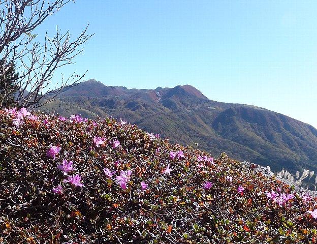 ミヤマキリシマの狂い咲き