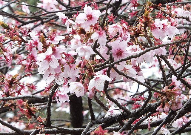 出雲大社 桜