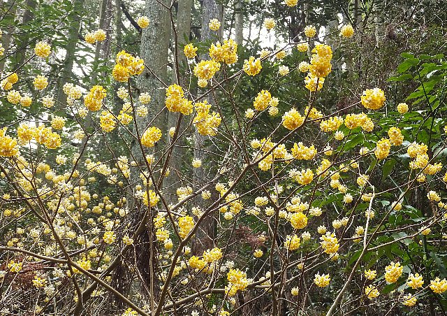 福智山のミツマタの花