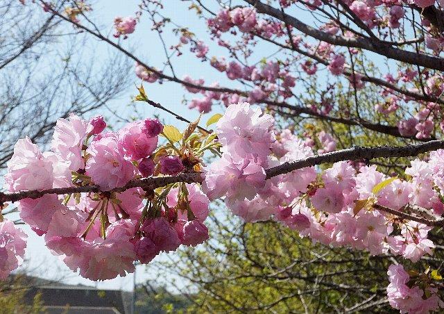 平尾台 八重桜