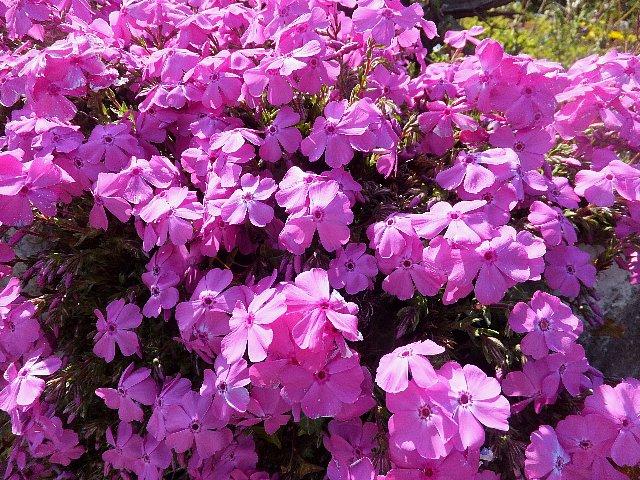 平尾台の花
