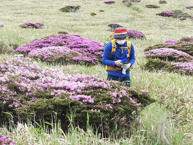 岩井川岳のミヤマキリシマ
