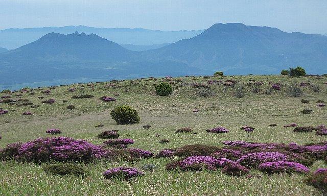ミヤマキリシマ咲く岩井川岳の草台地