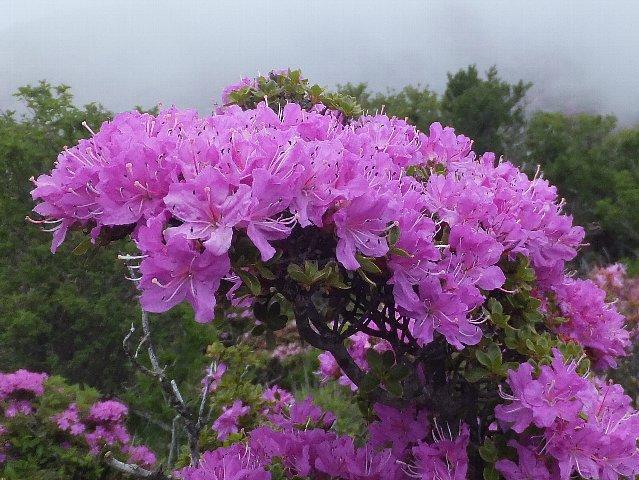平治岳 ミヤマキリシマ